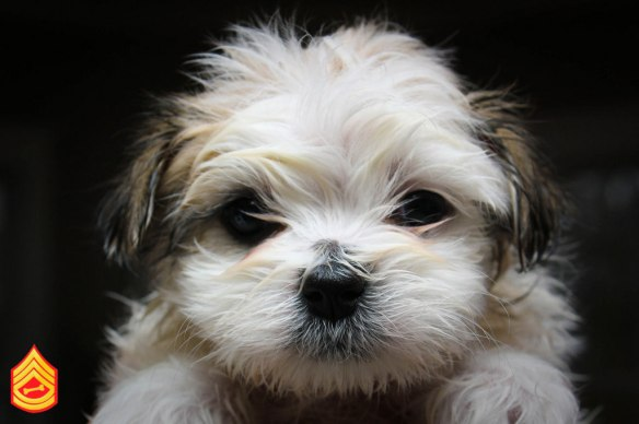 Maltese Puppy After Bath by WSILVER